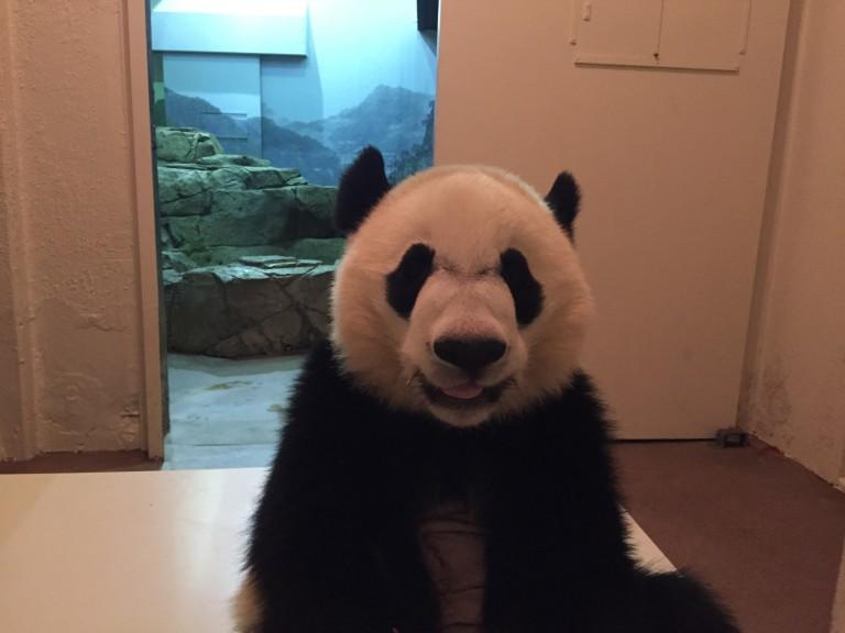 giant panda bei bei in his habitat