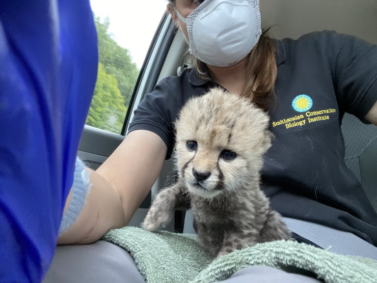 SCBI biologist Adrienne Crosier transferred a 2-week-old male cheetah cub from Front Royal, Virginia, to Wildlife Safari in Winston, Oregon.