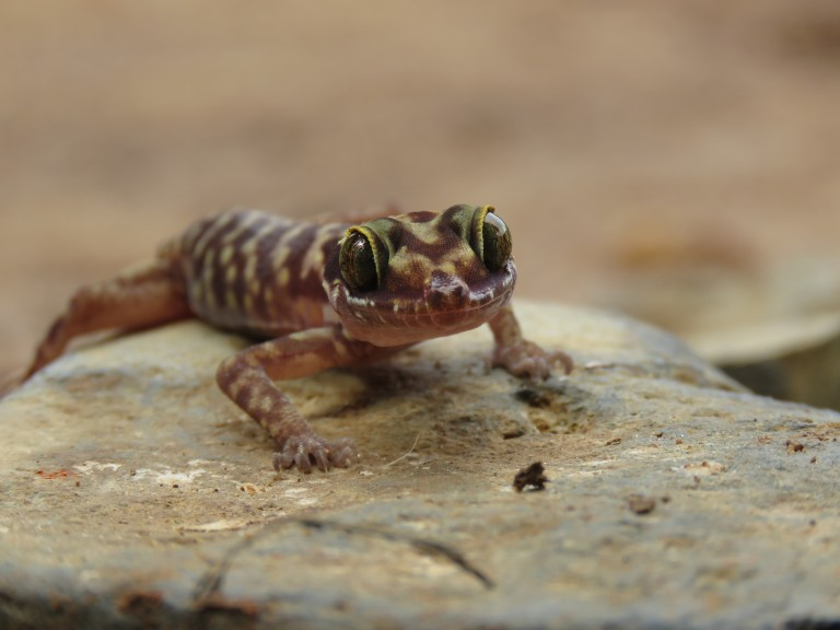 Tenasserim Mountain bent-toed gecko on a rock