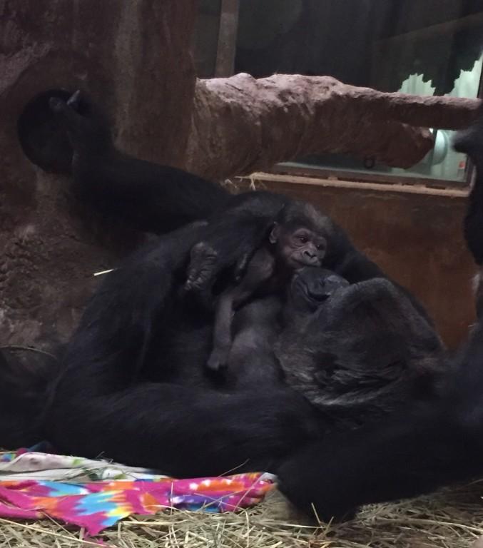 Gorilla Calaya cradles her newborn baby