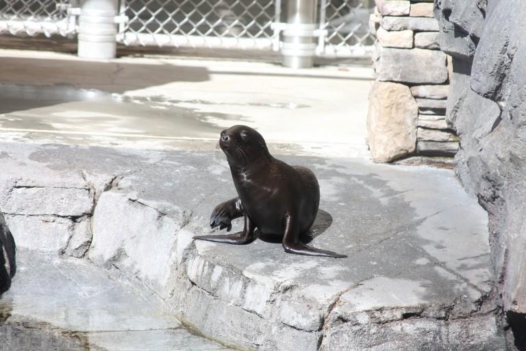 California Sea Lion Pup