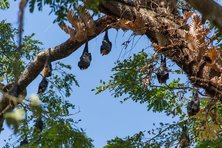 Indian flying foxes roosting in a tree in Myanmar.