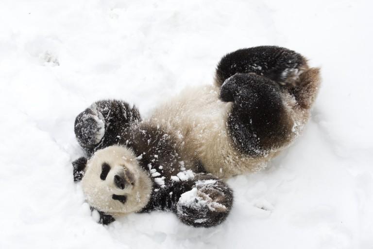 Giant panda Tian Tian plays in the snow.