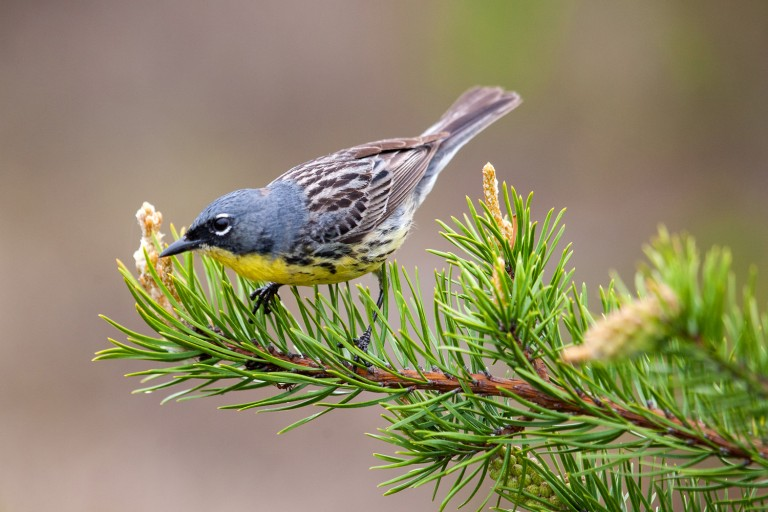A Kirtland's warbler perches on a branch, it's yellow bellow pointing down.
