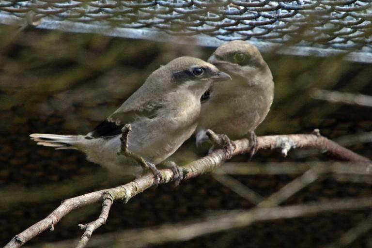 Loggerhead shrike chick