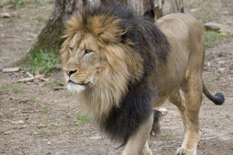 Male adult African lion