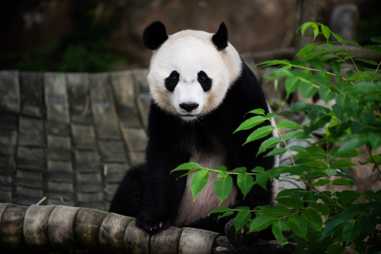 Giant panda Bei Bei sitting in his hammock.
