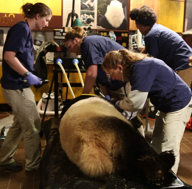 Veterinarians Dr. Kendra Baur and Dr. Jessica Siegal-Willott attend to giant panda Mei Xiang sedated for artificial insemination