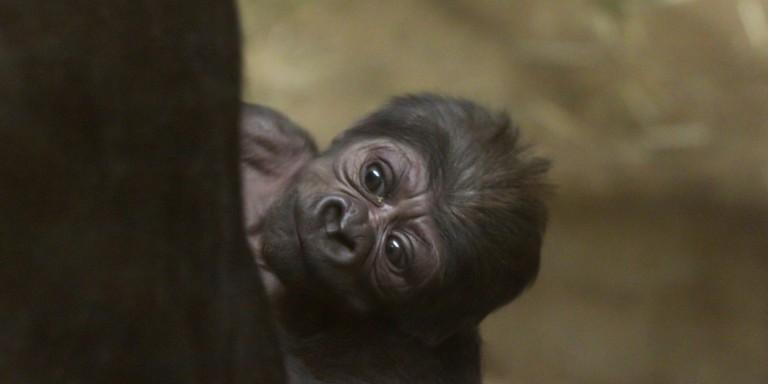Western lowland gorilla Moke.