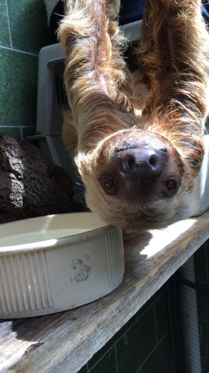 Two-toed sloth Ms Chips