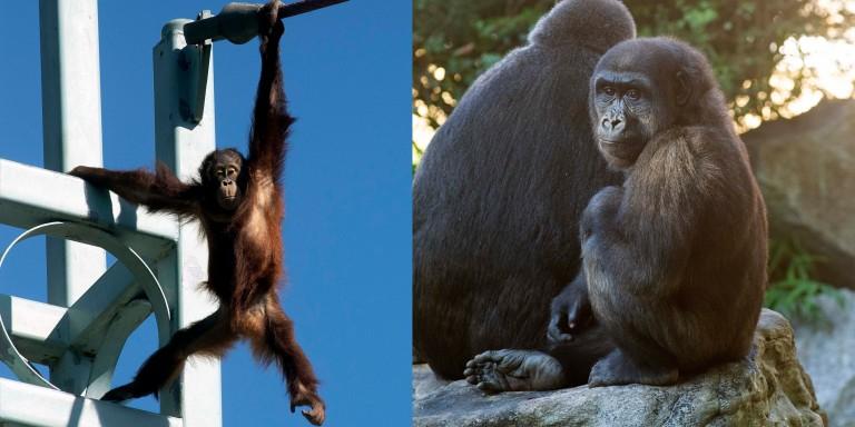 Bornean orangutan Redd (left) and western lowland gorilla Moke (right).