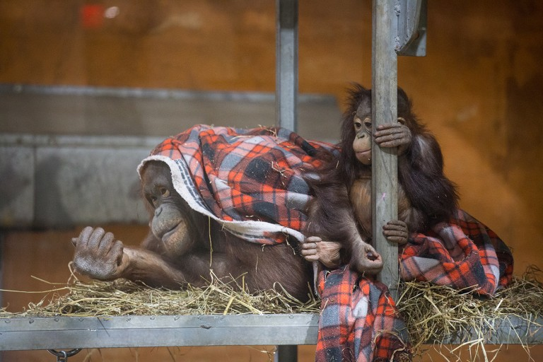 Orangutans Batang and infant Redd sitting together on a small pile of hay with a blanket