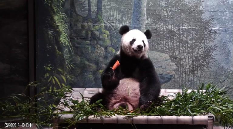 Tian Tian on hammock