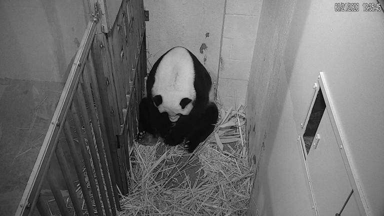 Giant panda Mei Xiang gives birth to a cub
