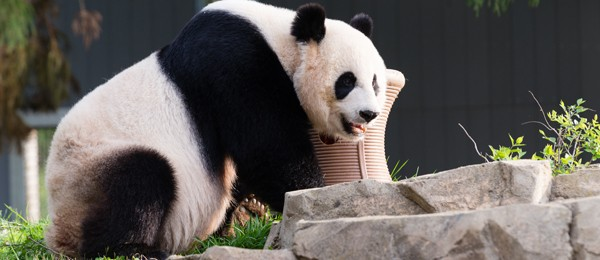 Giant panda in yard