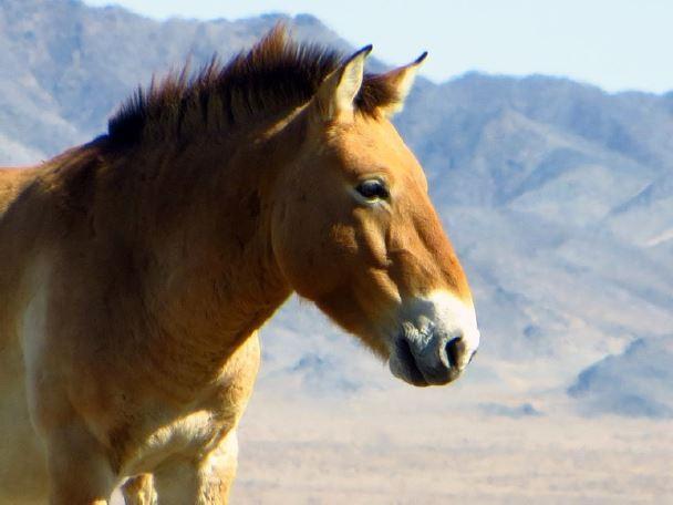 Przewalski's Horse in Mongolia