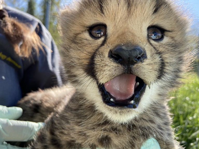 A close up photo of a cheetah cub's face with mouth open and tiny teeth showing