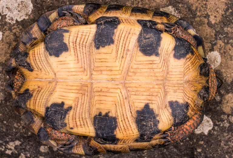The plastron, or belly, of a female wood turtle