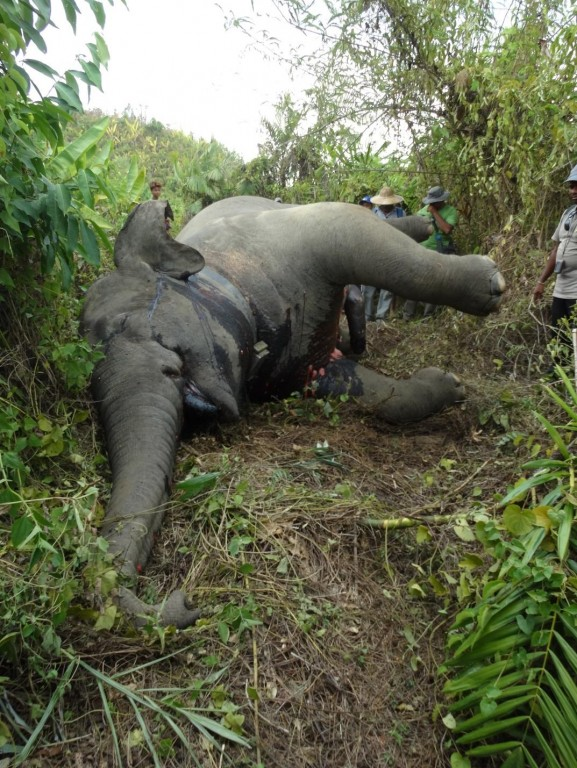 A poached elephant in Myanmar. The elephant had been wearing a satellite-GPS collar as part of a Smithsonian Conservation Biology Institute study tracking elephant movements to mitigate human-elephant conflict.