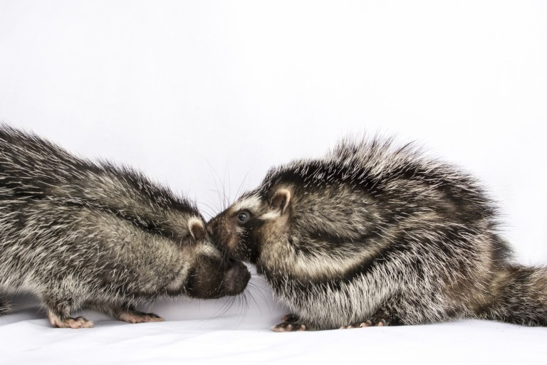 Pair of African crested rats