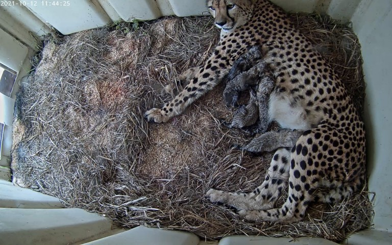 Cheetah mom Rosalie nurses five cubs on a bed of straw