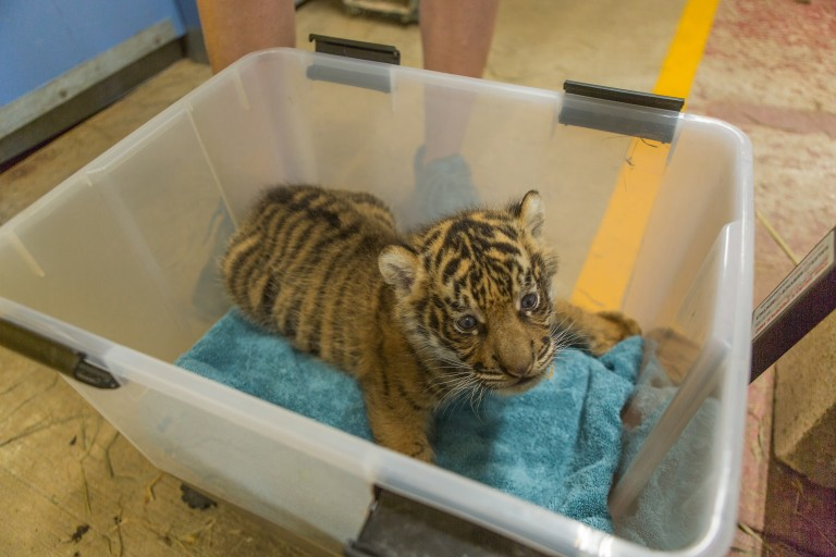 Great Cats keepers weigh the Sumatran tiger cub at every feeding to monitor his weight and adjust nutrition as necessary.