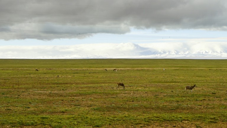 Tibetan antelopes grazing in China in the summer.