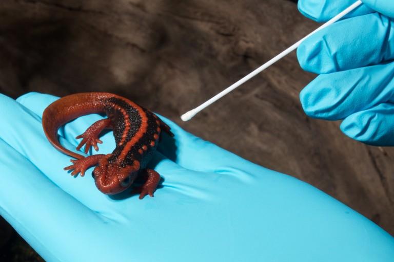 A researcher swabbing a salamander