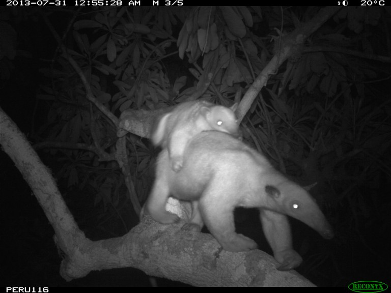 A black-and-white camera trap photo of two tamanduas in a tree, one of the tamanduas is a baby on its mother's back
