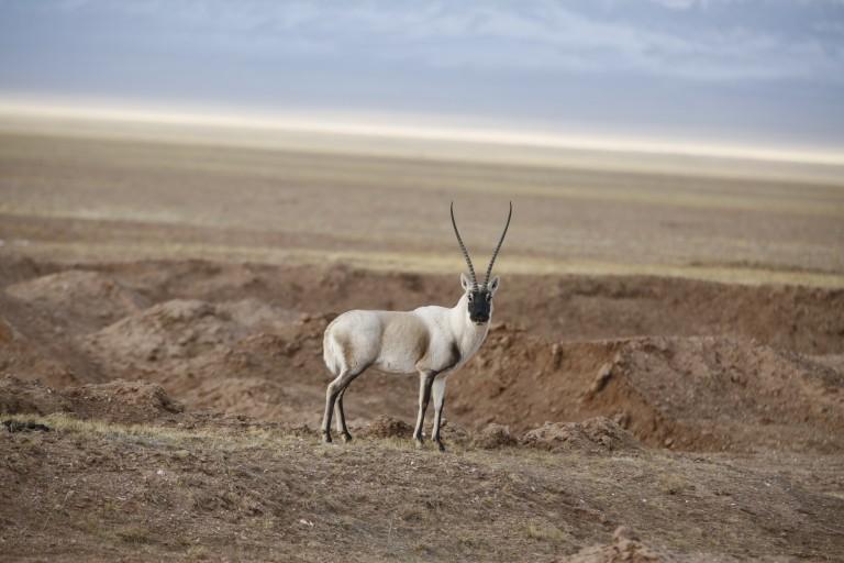 An adult Tibetan antelope in rural west China.