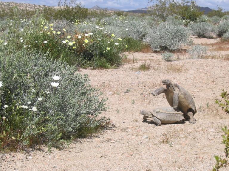 Two desert tortoises mating in desert environment