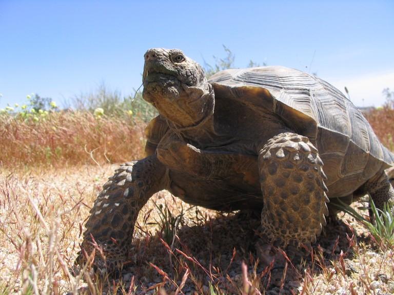 Large male tortoise standing in desert environment