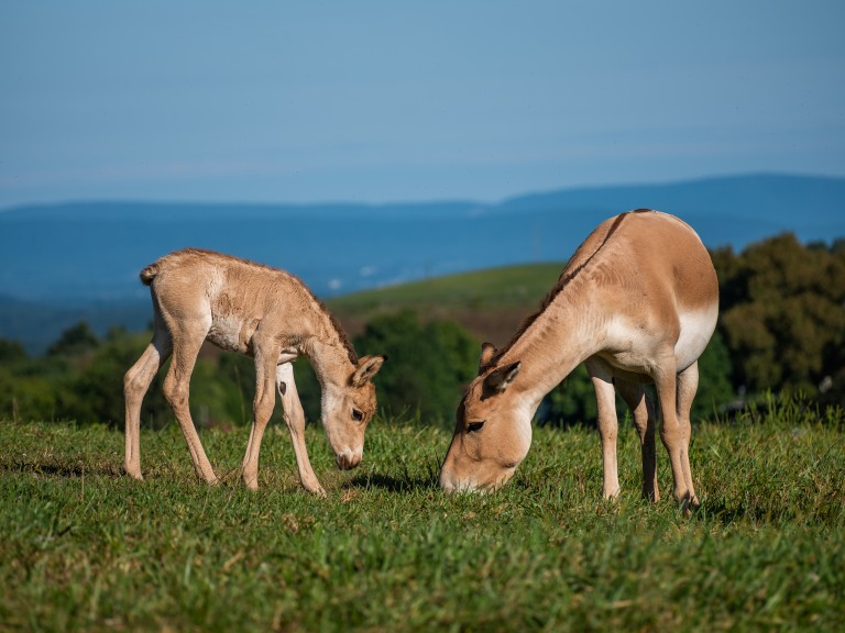 A Persian onager foal (left) and its mom (right) bend their heads to eat grass.