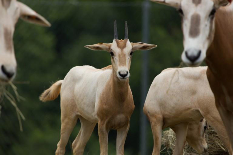 Female scimitar-horned oryx calf