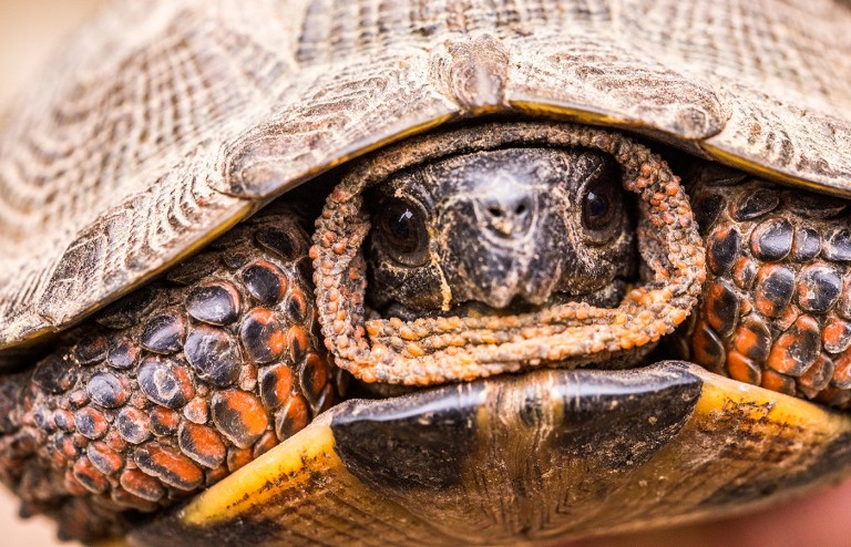 A wood turtle withdrawing into its shell