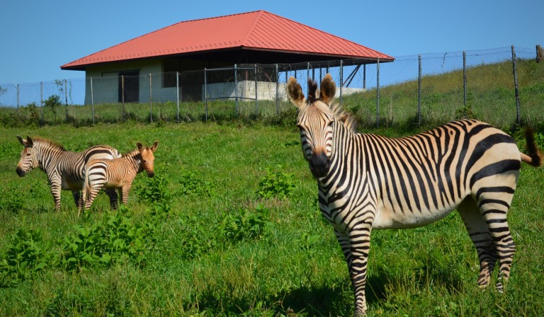 Hartmann's mountain zebra herd in their pasture at SCBI.