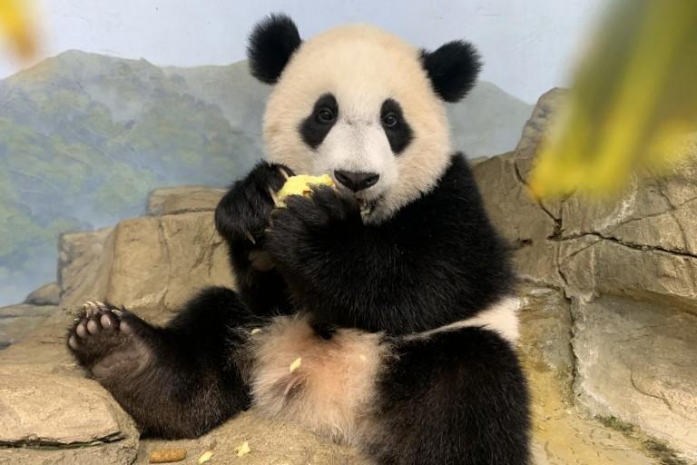 Giant panda cub Xiao Qi Ji sits atop the rockwork eating an apple.