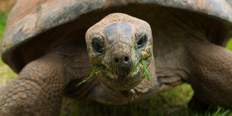 Aldabra Tortoise eating grass.