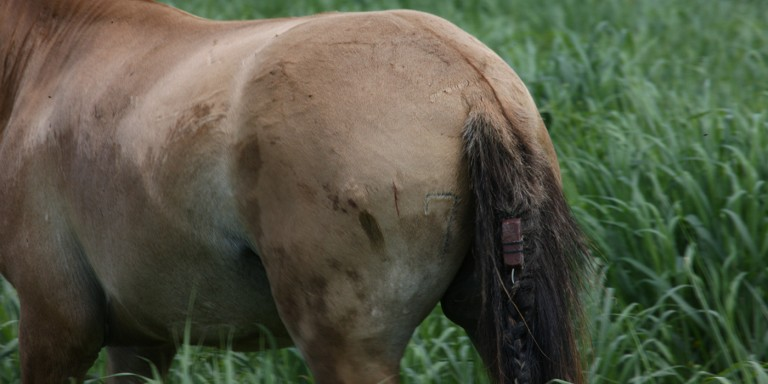 a przewalski's stallion wears a gps transmitter woven into his tail