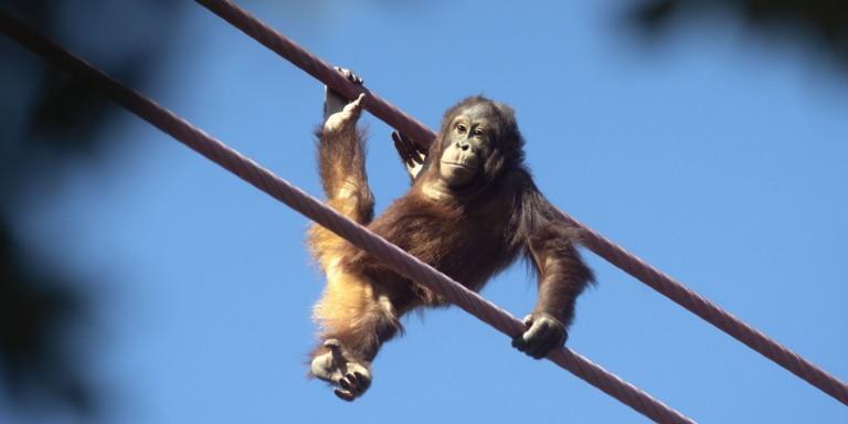 Bornean orangutan Redd traverses the O-Line.