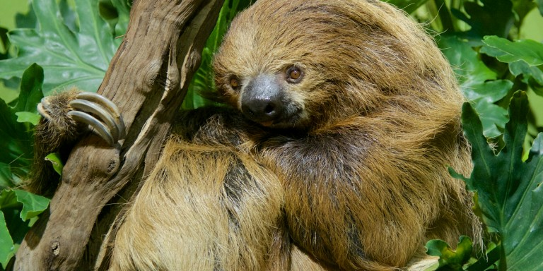 two-toed sloth clinging to a tree branch