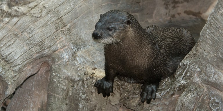 A North American river otter climbing on some rocks