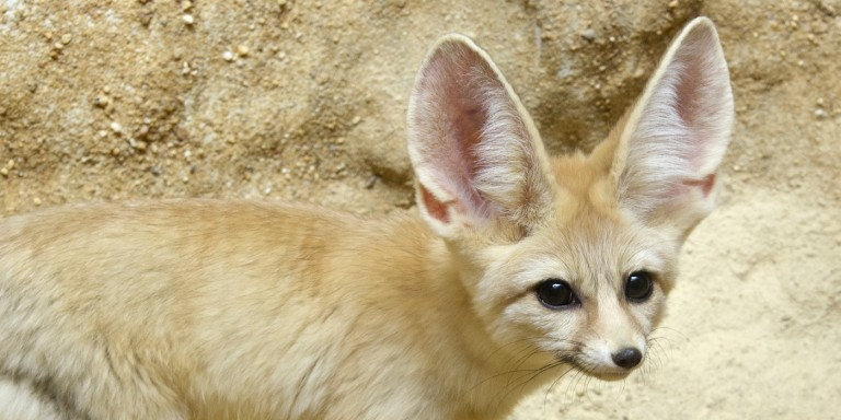 A canid (called a fennec fox) with thick, desert sand-colored fur, a bushy tail and big ears