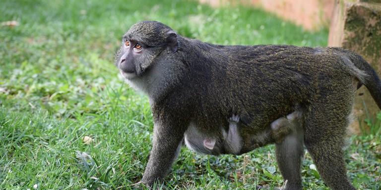 Allen's Swamp Monkey in the grass