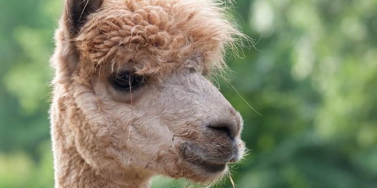 A close-up of a beige alpaca's face