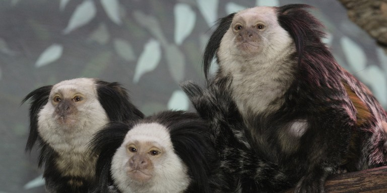 Small, comical monkeys with white heads and black tufts for their ears