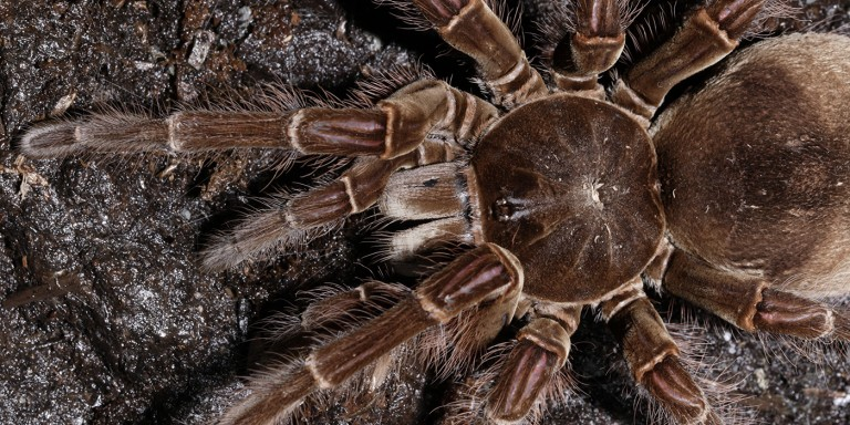 very large brown spider with hairy legs