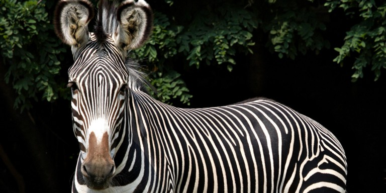 Grevy's Zebra black background with leaves
