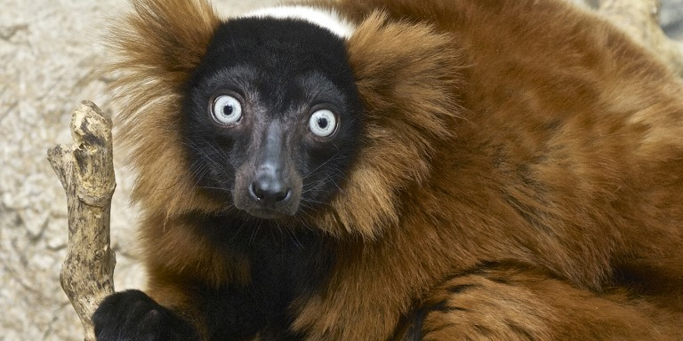 Black face and red ear tufts on a reddish-brown lemur