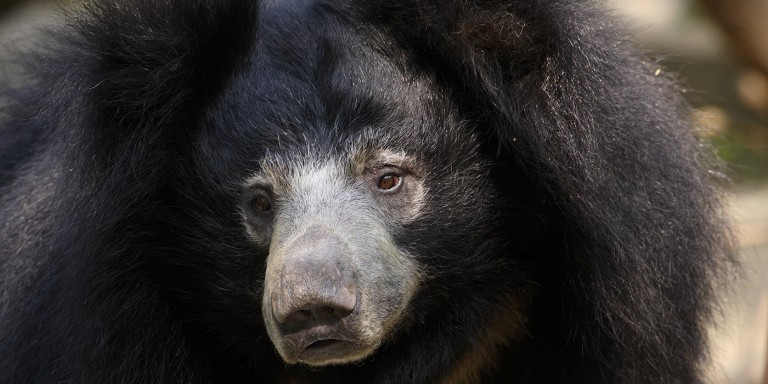 Closeup showing the black-furred bear's long gray snout